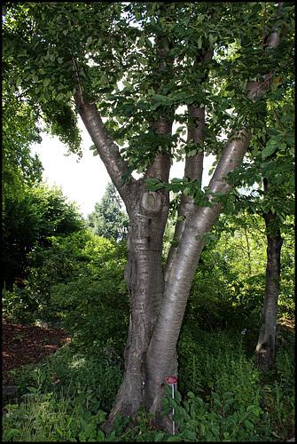 Prunus avium (2)
