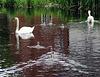 Swans at Whittington