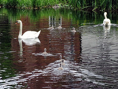 Swans at Whittington