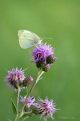 Large white ~ Groot koolwitje (Pieris brassicae)...