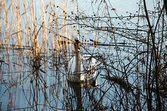 20150406 7620VRAw [D~SHG] Höckerschwan (Cygnus olor), Baggersee, Rinteln