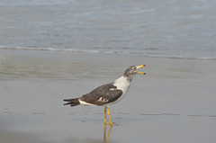 Lima, Playa Agua Dulce, Screaming Seagull