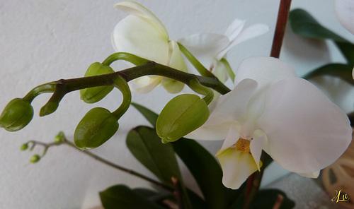 ** Nouvelle floraison **