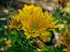 B022845dL Chrysanthemum