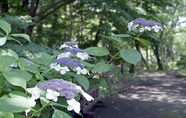 Hydrangea along the foot path