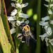 Bumblebee pollinating Ladies'-tresses orchids in the Bog Garden