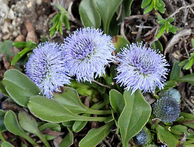 kleine blaue Kugelblume (Globularia)