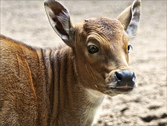 Portrait Banteng Jr.