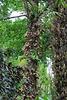 Boulet de canon-Couroupita guianensis pip