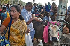 La vache, reine de la fête