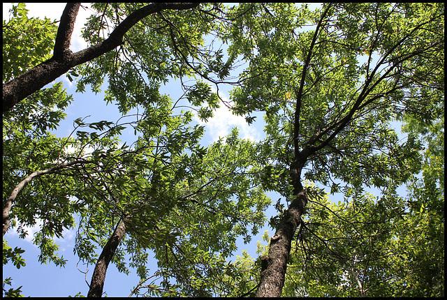 Prunus dulcis -amandier