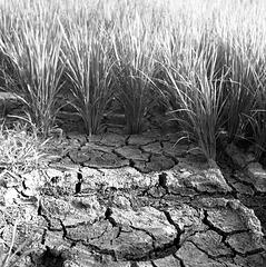 Cracked paddy