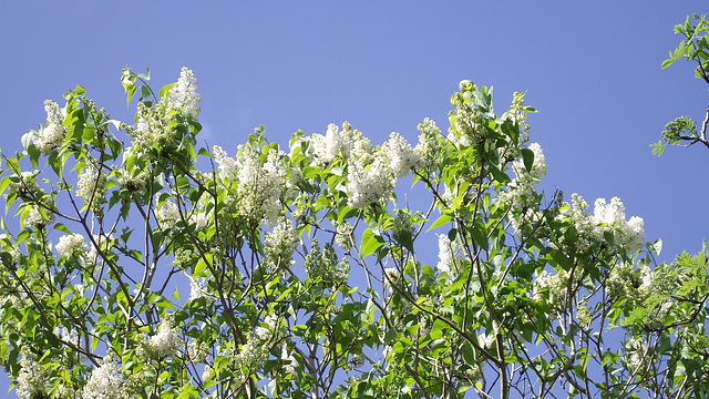 The white lilac has a wonderful scent