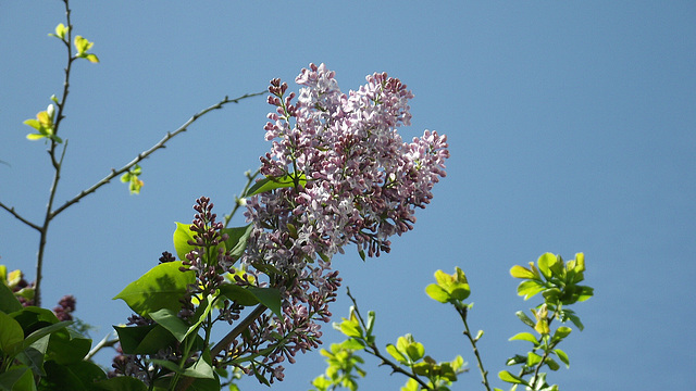 The pale purple lilac is quite plentiful