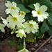 Primroses are out