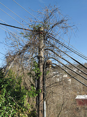 """""""Hairy pole"""" scene of utility pole with plants."""