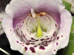 foxglove bees-eye-view V2  DSC 0393