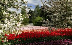 Flowering Keukenhof, the Netherlands...