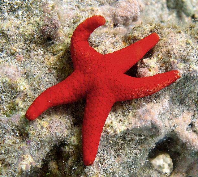 Etoile rouge à cinq branches - Etoile de Mer