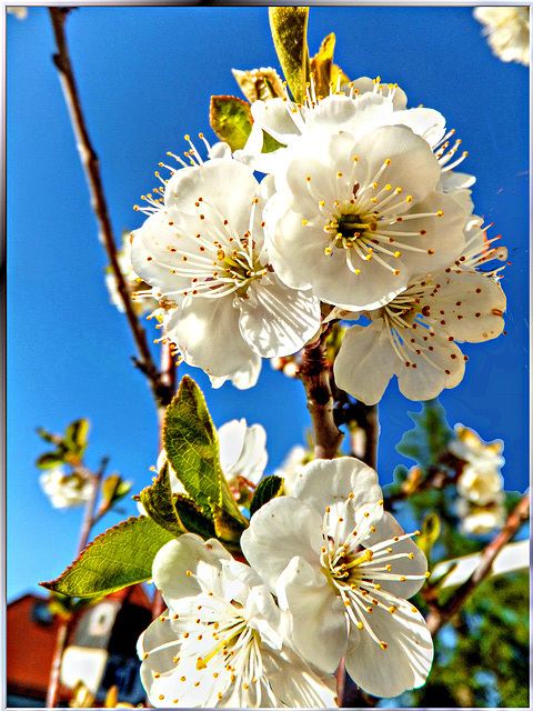 Kirschblüten. Cherry blossoms. ©UdoSm