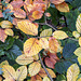 Autumn beech leaves #1