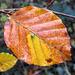 Autumn beech leaves #2
