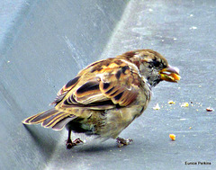 Very Hungry Sparrow.