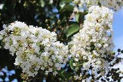White Crepe Myrtle ~~~