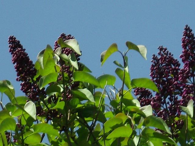 Dark purple lilac is very striking