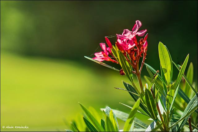 Les fleurs de Godinetje