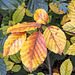 Autumn beech leaves #3
