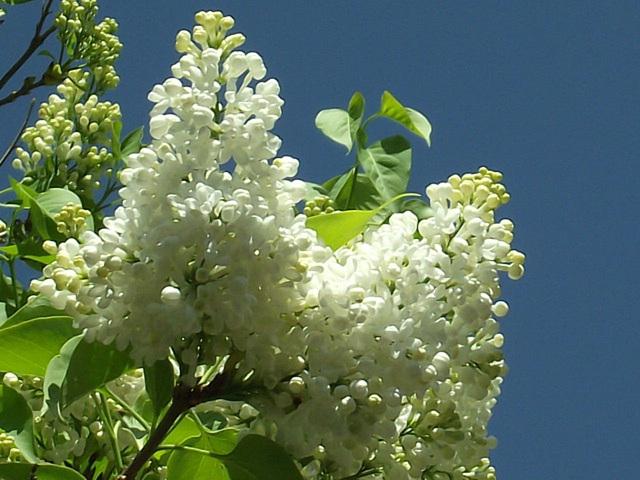 Beautiful white lilac