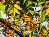 Translucent autumn rowan leaves
