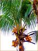 Seychelles : stare alla larga dal cocco maturo...