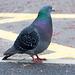 Pigeon (1)