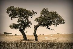 Azinheiras, Quercus ilex