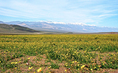 On the Floor of Death Valley, the superbloom of 1998.