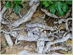 Roots of a fig tree