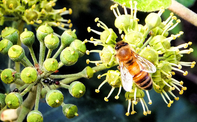 Ants and Bee in the Ivy... ©UdoSm