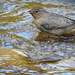 American Dipper / Cinclus mexicanus