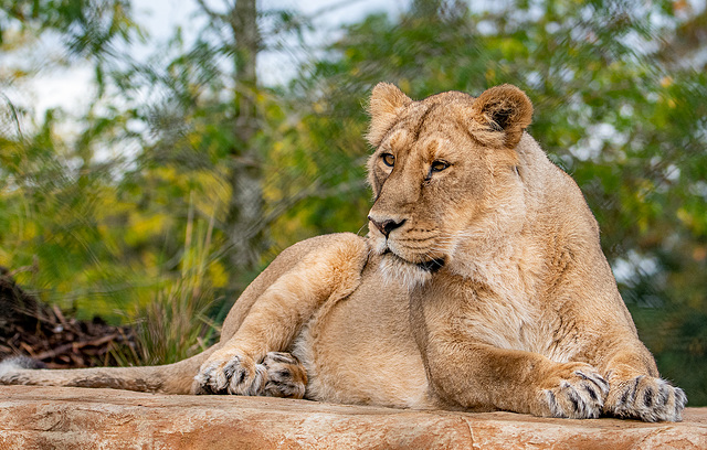Lioness on a heated stone