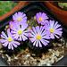 Ophtalmophyllum (3)
