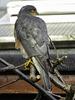Sparrow Hawk in the garden