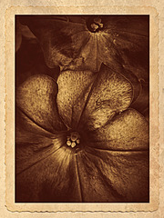 Petunia Antiquated