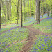 Bluebell time - Ladybank wood - South Sheffield -