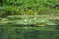 Guatemala, Water Lilies in the Chocón Machacas Protected Biotope