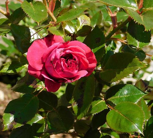 Première rose au parc...