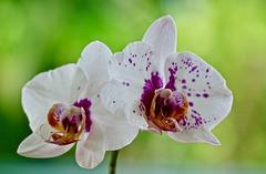 T0A7484-Phalaenopsis, les surprises du retour