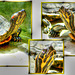 Westliche Zierschildkröte (Chrysemys picta bellii) ©UdoSm