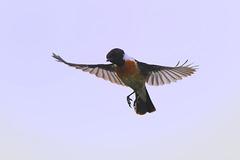 Schwarzkehlchen-fliegend